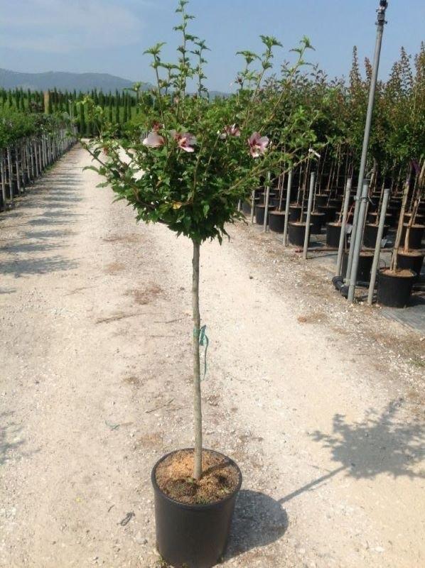 Altheastruik als halfstam (Hibiscus syriacus 'Hamabo')-Plant in pot-8/10 halfstam. Kleur: roze