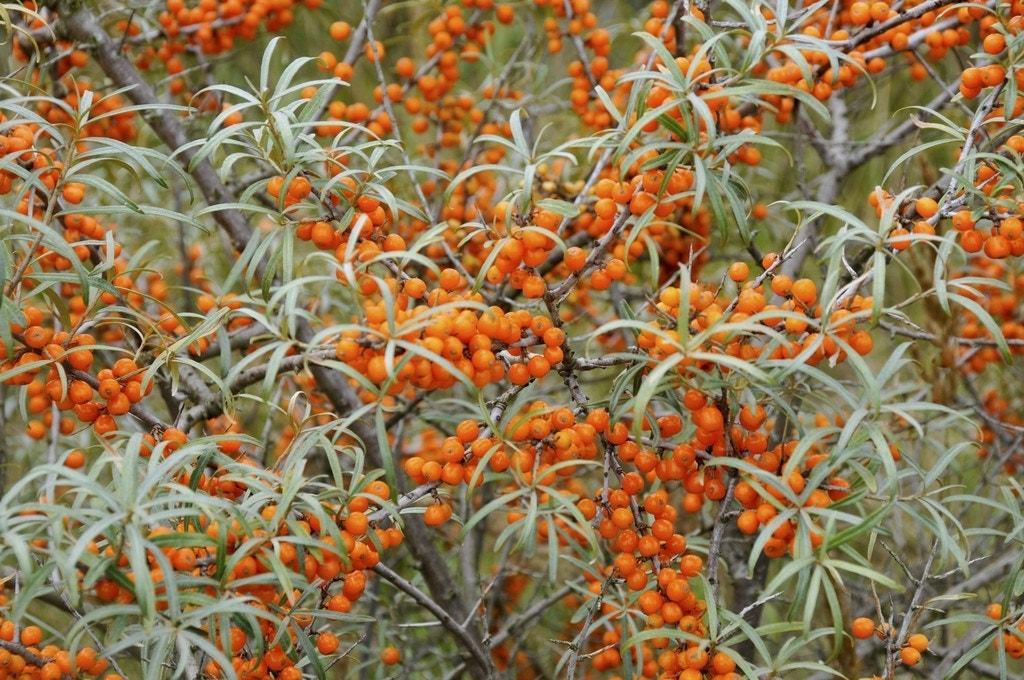 Duindoorn (Hippophae rhamnoides)-Plant uit volle grond-40/60 cm