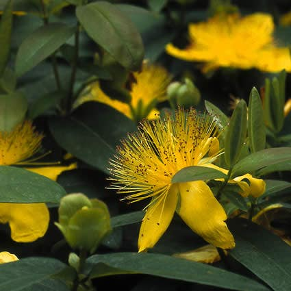 Hertshooi (Hypericum calycinum) - 20/25 cm.. Kleur: geel