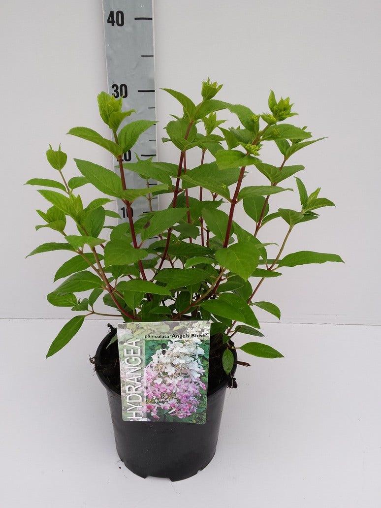 Pluimhortensia (Hydrangea paniculata 'Angels Blush')-Plant in pot-40/50 cm