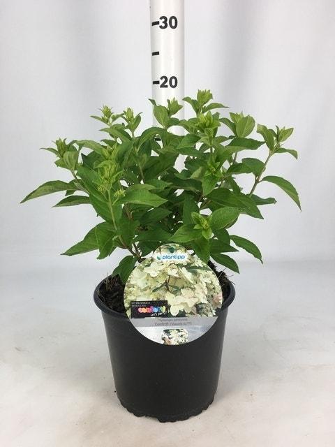 Pluimhortensia (Hydrangea paniculata 'Confetti')-Plant in pot-30/40 cm. Kleur: wit