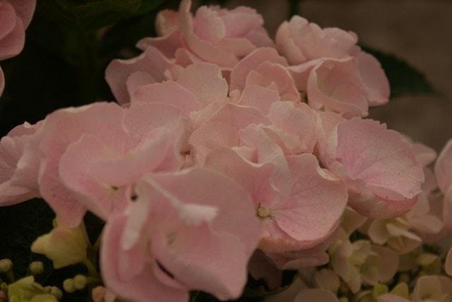 Hortensia (Hydrangea macr. Hovaria 'Hobella')-Plant in pot-35/40 cm. Kleur: roze