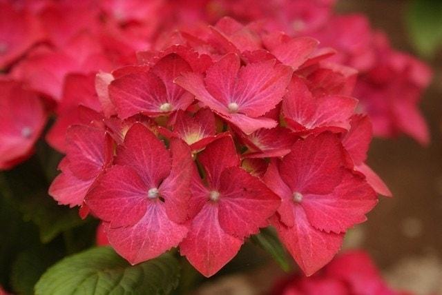 Hortensia (Hydrangea macrophylla 'Hot Red Violet')-Plant in pot-50/60 cm. Kleur: paars