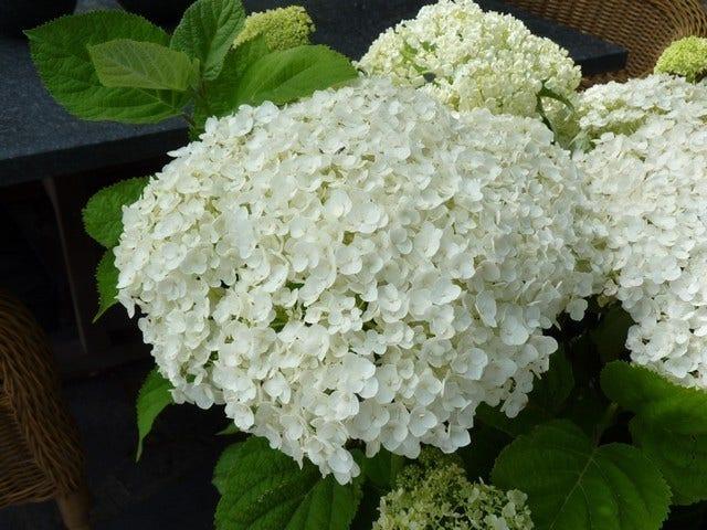 Hortensia (Hydrangea 'Strong Annabelle')-Plant in pot-60/80 cm. Kleur: wit