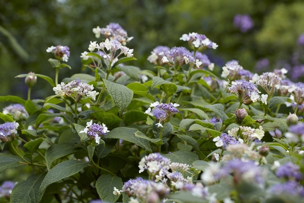 Hortensia (Hydrangea involucrata)-Plant in pot-50/60 cm. Kleur: paars