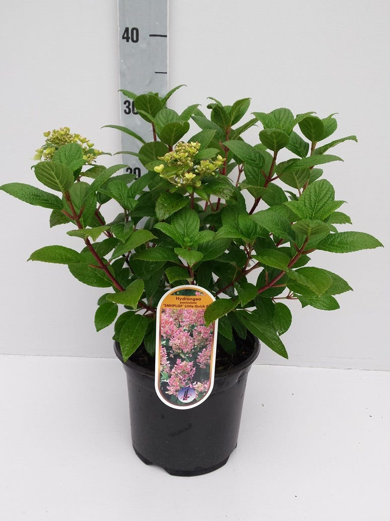 Pluimhortensia (Hydrangea paniculata 'Little Quick Fire')-Plant in pot-C3