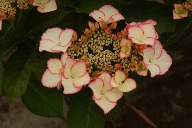 Hortensia (Hydrangea macr. Hovaria 'Love You Kiss')-Plant in pot-35/40 cm