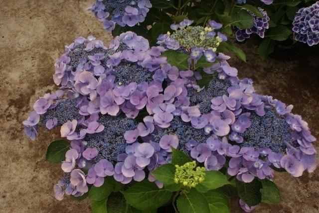 Hortensia (Hydrangea macro. 'Lutin Blue')-Plant in pot-35/40 cm. Kleur: blauw