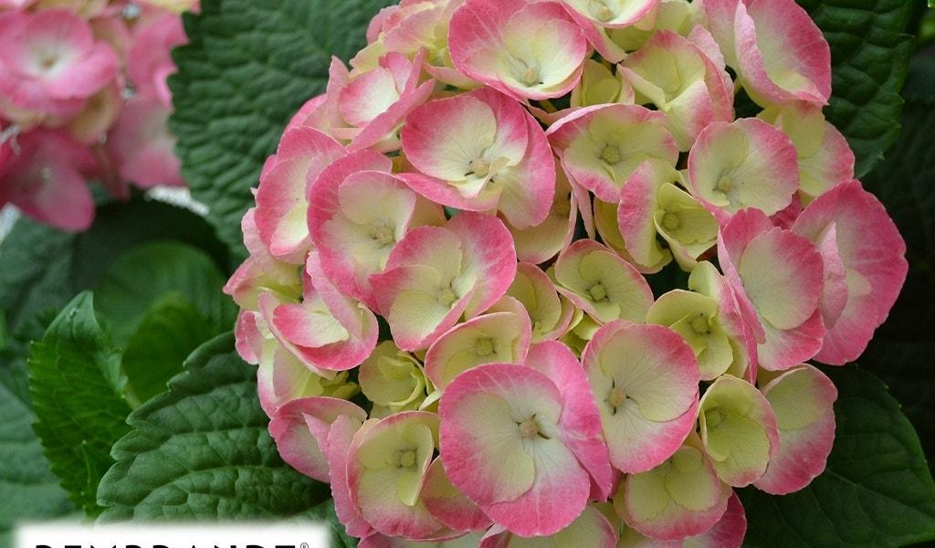 Hortensia (Hydrangea Rembrandt® Dolce Chic)-Plant in pot-C5. Kleur: roze