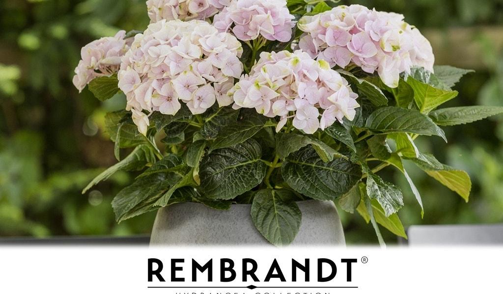 Hortensia (Rembrandt® Elegant Rosa)-Plant in pot-C5. Kleur: roze