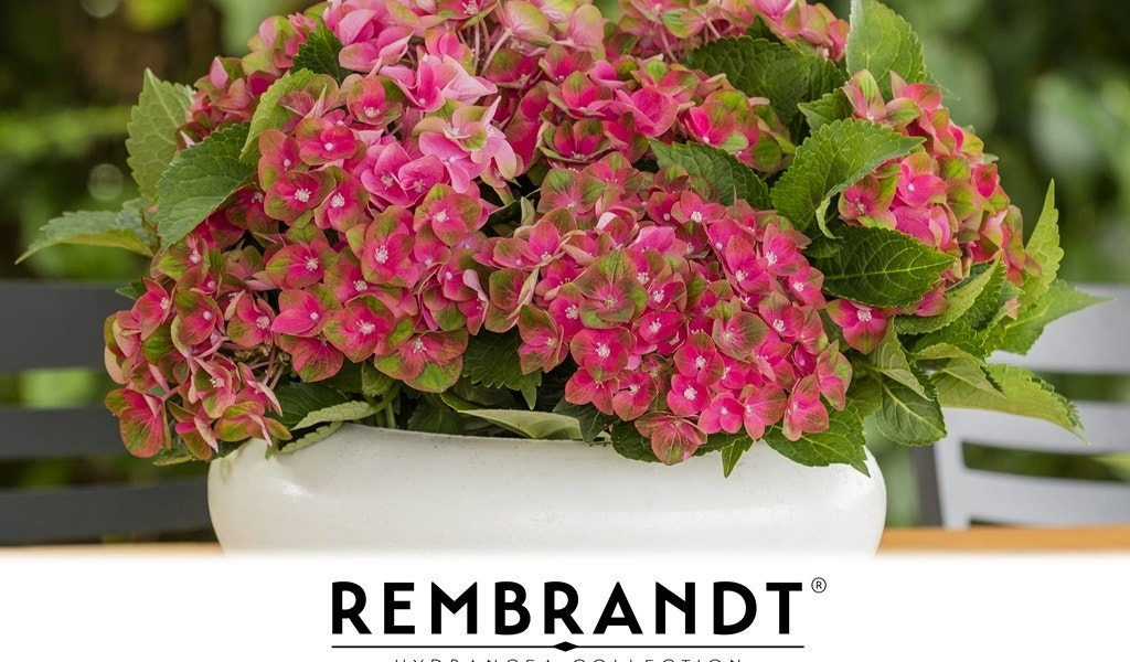 (Hortensia) Rembrandt® Rosso Glory-Plant in pot-C5. Kleur: rood