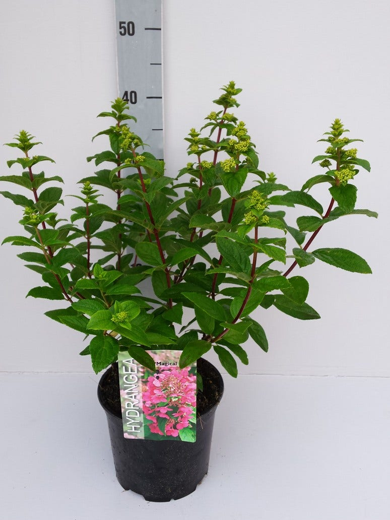 Pluimhortensia (Hydrangea paniculata 'Magical Fire')-Plant in pot-40/50 cm