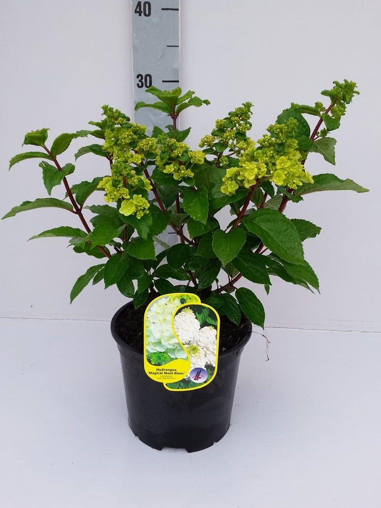 Pluimhortensia (Hydrangea paniculata 'Magical Mont Blanc')-Plant in pot-C3