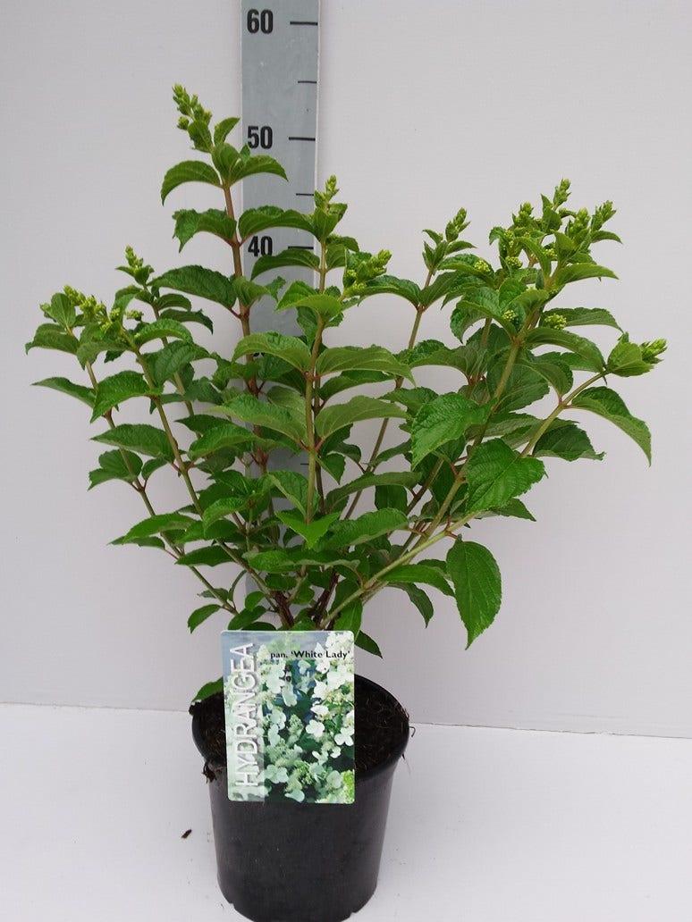 Pluimhortensia (Hydrangea paniculata 'White Lady')-Plant in pot-C3