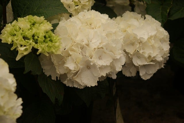 Hortensia (Hydrangea macrophylla 'Schneeball')-Plant in pot-25/30 cm. Kleur: wit
