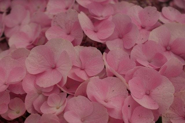 Hortensia (Hydrangea 'Sturdy Nanping')-Plant in pot-35/40 cm. Kleur: roze