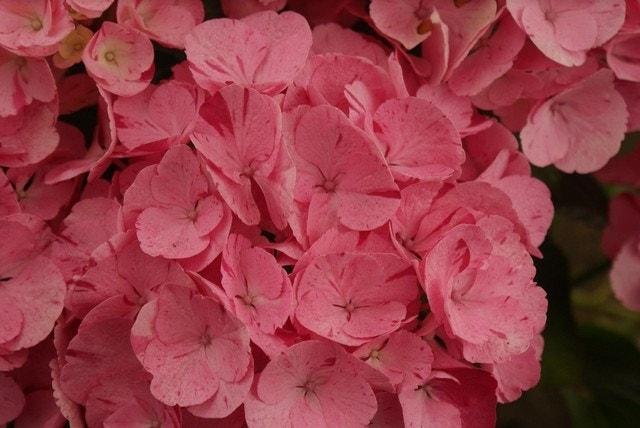 Hydrangea macr. Hov. 'Sweet Fantasy Pink'-Plant in pot-50/60 cm. Kleur: roze