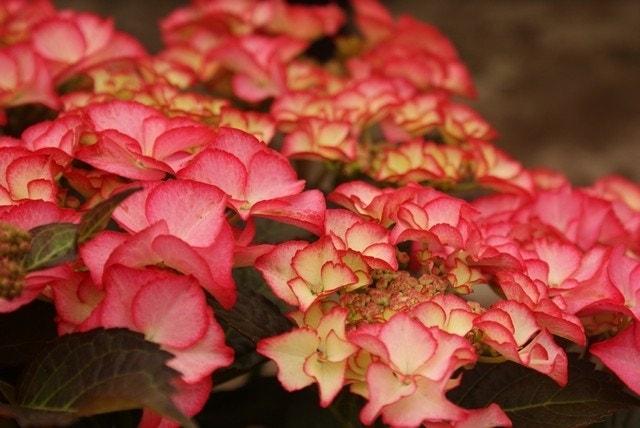 Hortensia (Hydrangea macro. 'Tiffany Pink')-Plant in pot-35/40 cm. Kleur: roze