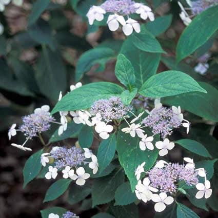 Hortensia (Hydrangea serrata 'Bluebird') - 30/40 cm.. Kleur: blauw