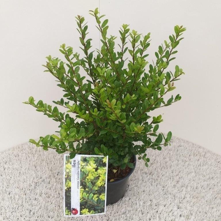 Japanse Hulst (Ilex crenata 'Caroline Upright')-Plant in pot-40/50 cm. Kleur: wit