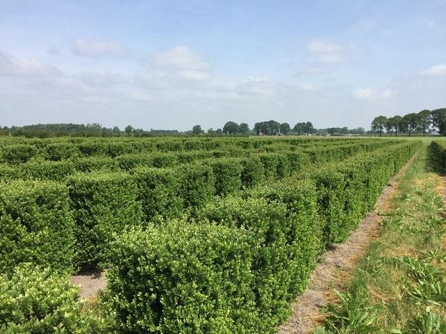 Japanse Hulst als Haagelement (Ilex crenata 'Dark Green')-Plant uit volle grond-100 x 50 x 50 cm