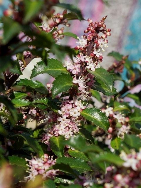 Amerikaanse hulst (Ilex meserveae 'Gentle')-Plant in pot-25/30 cm
