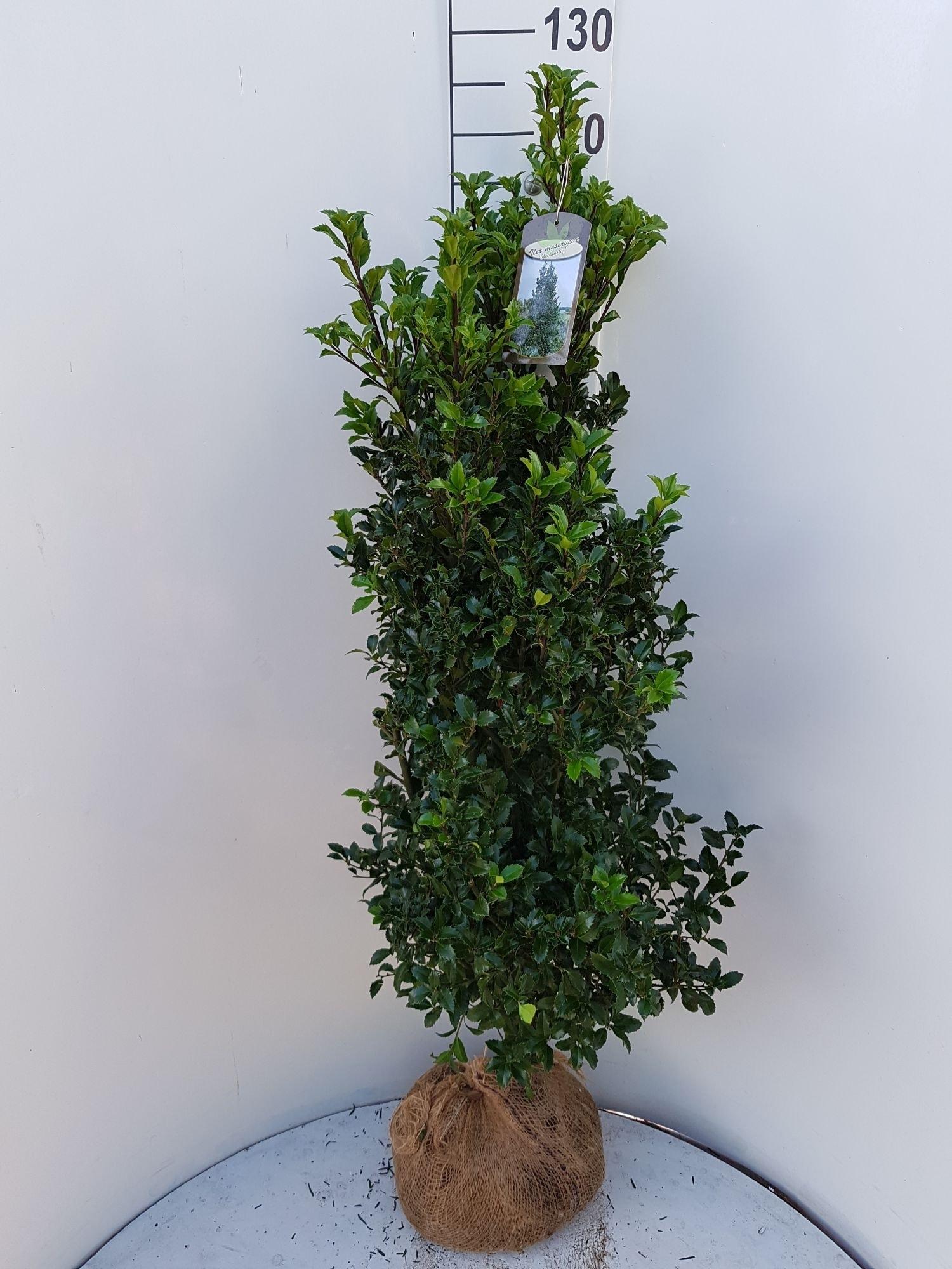 Hulst (Ilex meserveae 'Heckenstar')-Plant uit volle grond-80/100 cm