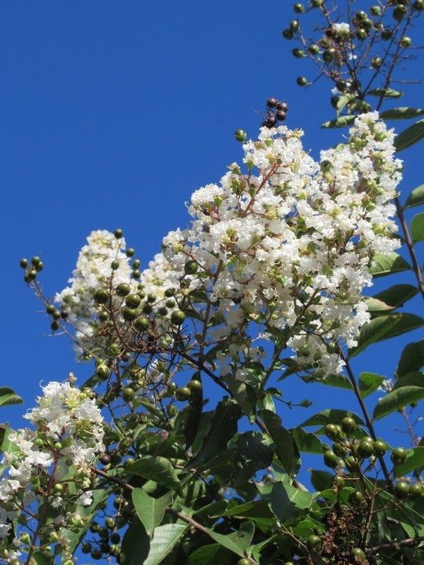 Lagerstroemia halfstam (Lagerstroemia indica 'Burgundy Cotton')-Plant in pot-halfstam. Kleur: wit