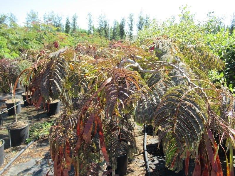 Perzische slaapboom als halfstam (Albizia 'Chocolate Fountain')-Plant in pot-halfstam. Kleur: roze