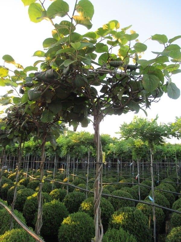 Kiwiplant als dakboom (Actinidia chinensis)