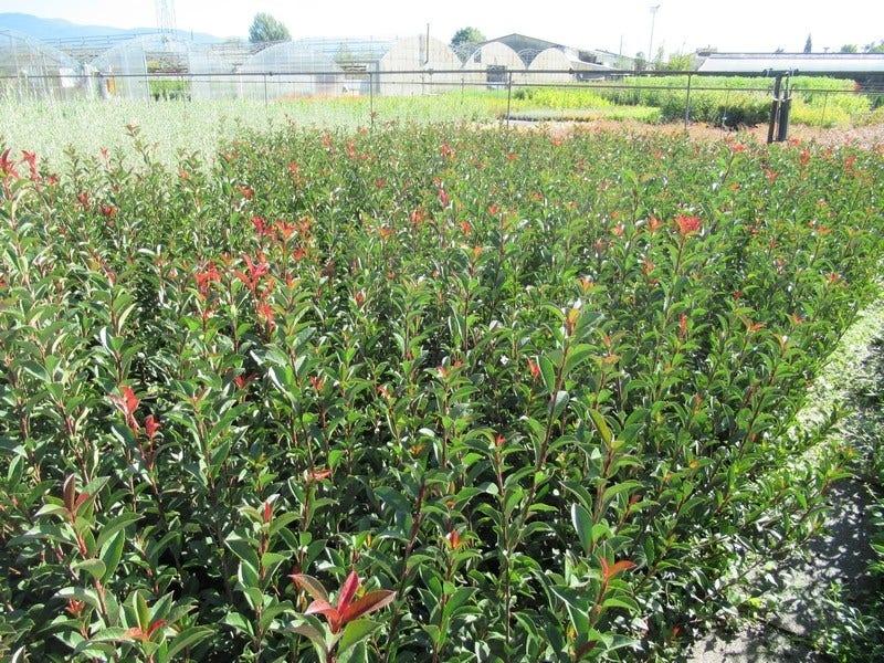 Glansmispel (Photinia fraseri 'Carré Rouge'). Kleur: wit