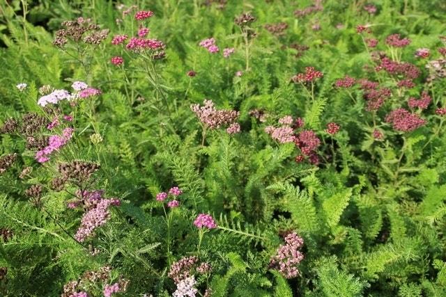 Duizendblad (Achillea millefolium 'Cerise Queen')-Plant in pot-C2