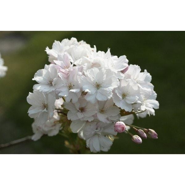 Japanse sierkers als struik (Prunus serrulata 'Amanogawa')-Plant in pot-80/100 cm