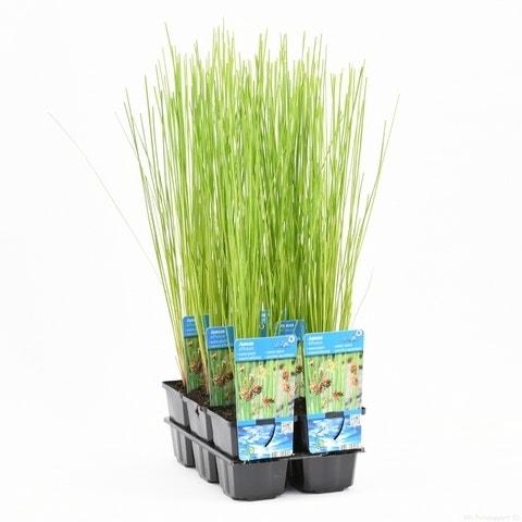 Pitrus (Juncus effusus)-Plant in pot-P9 (9x9 cm pot)