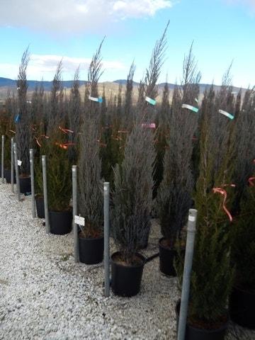 Jeneverbes (Juniperus scopulorum 'Blue Arrow')-Plant in pot-100/125 cm