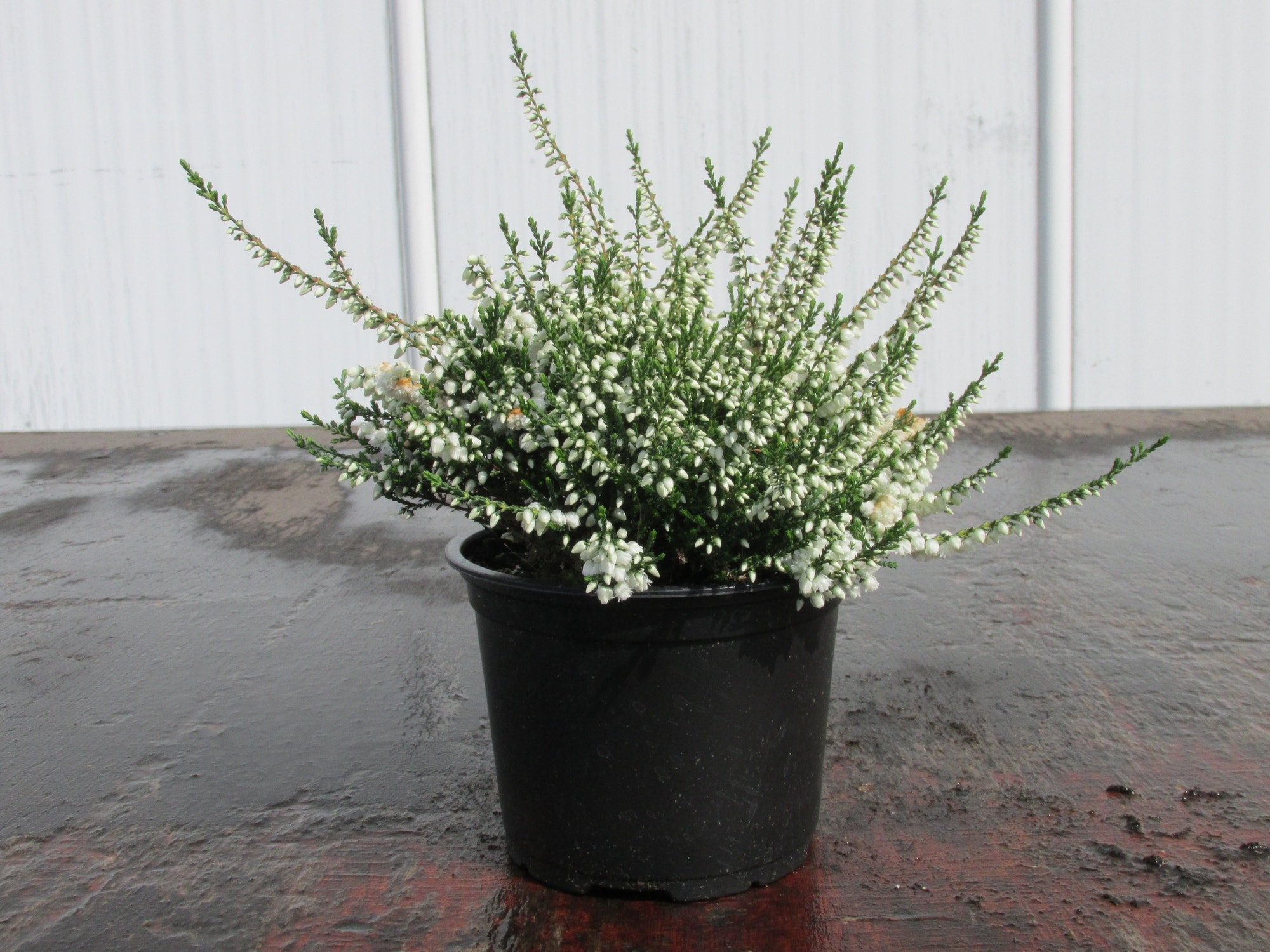 Struikheide (Calluna vulgaris 'Kinlochruel'')-Plant in pot-20/25 cm. Kleur: paars