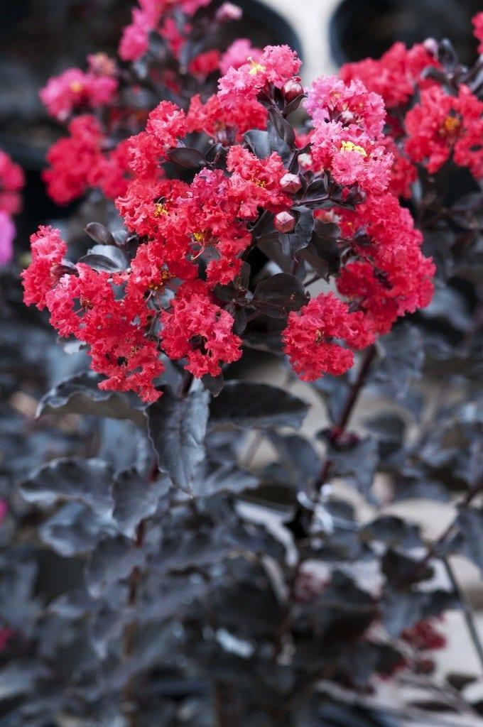 Lagerstroemia halfstam (Lagerstroemia 'Black Diamond Best Red')-Plant in pot-halfstam. Kleur: rood