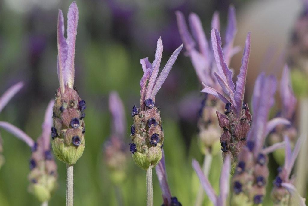 Vlinderlavendel (Lavandula stoechas 'Pedunculata')-Plant in pot-C2. Kleur: roze