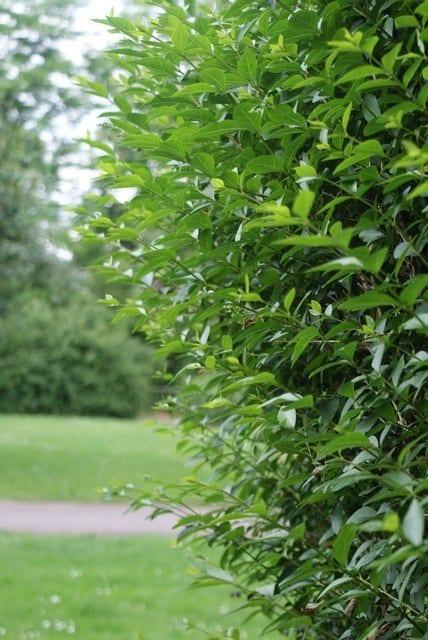 Ligusterhaag (Ligustrum ovalifolium)-Plant vanuit volle grond-30/50 cm. Kleur: wit