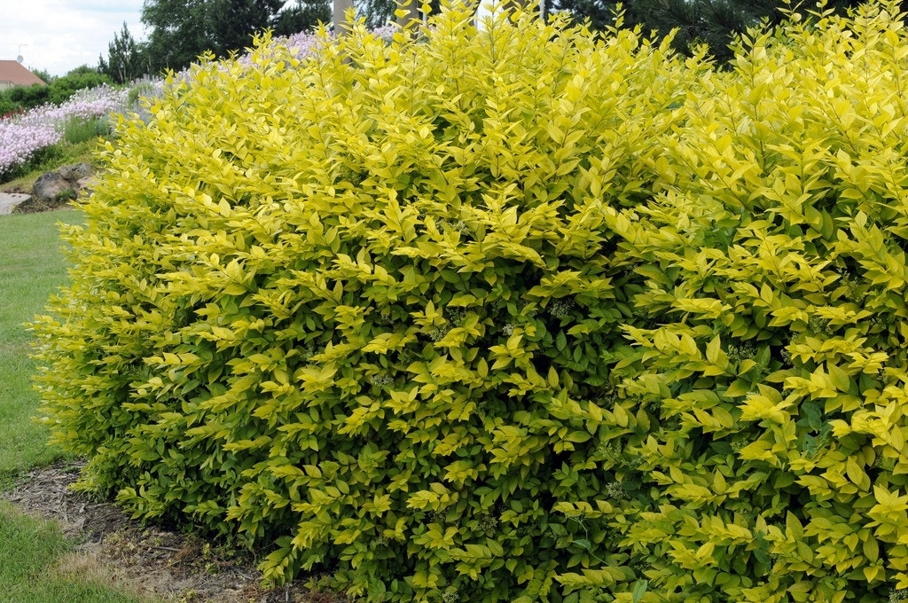 Liguster (Ligustrum ovalifolium 'Aureum')-Plant uit volle grond-30/50 cm. Kleur: wit