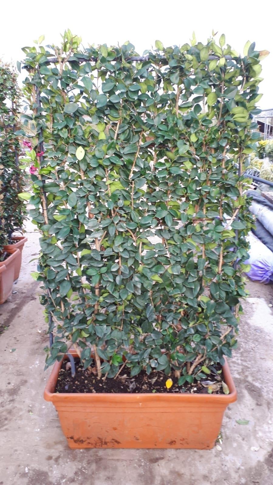 Liguster als Leivorm (Ligustrum japonicum 'Texanum')-Plant in pot-80cm x 120cm. Kleur: wit