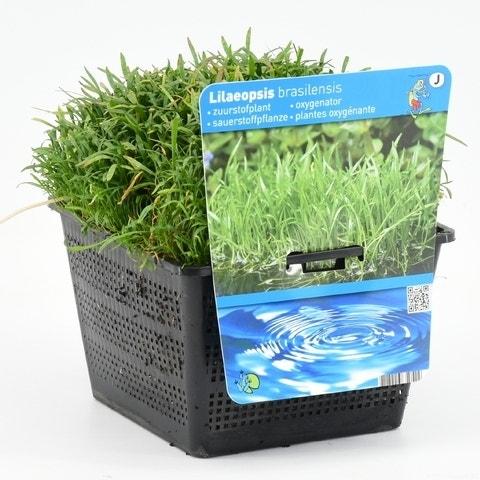 Grasplant (Lilaeopsis brasiliensis)-Plant in pot-P11 mand. Kleur: groen