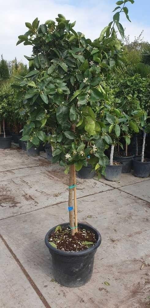 Citrus latifolia (Limoen)-Plant in pot-80 cm stam. Kleur: wit