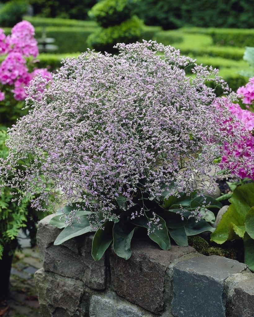 Lamsoor (Limonium latifolium) - P9. Kleur: blauw