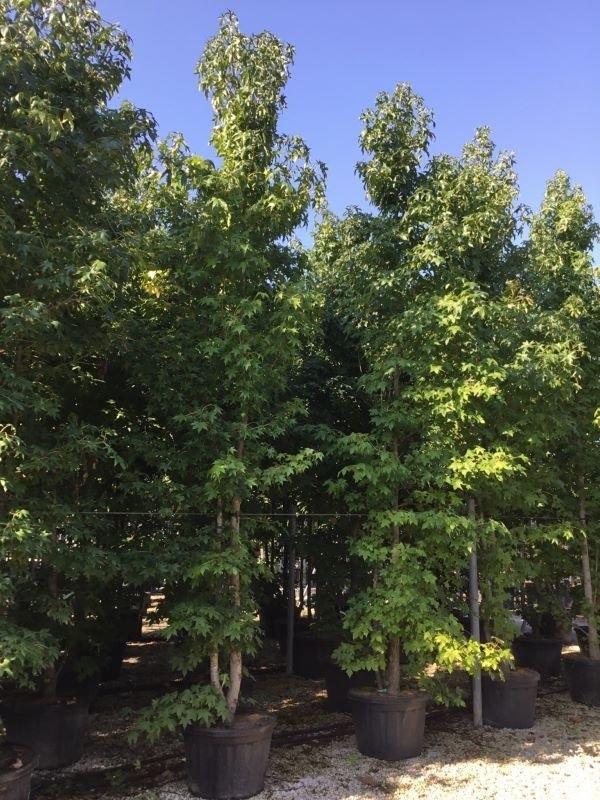 Meerstammige amberboom (Liquidambar styraciflua)-Plant in pot-175/200 meerstammig