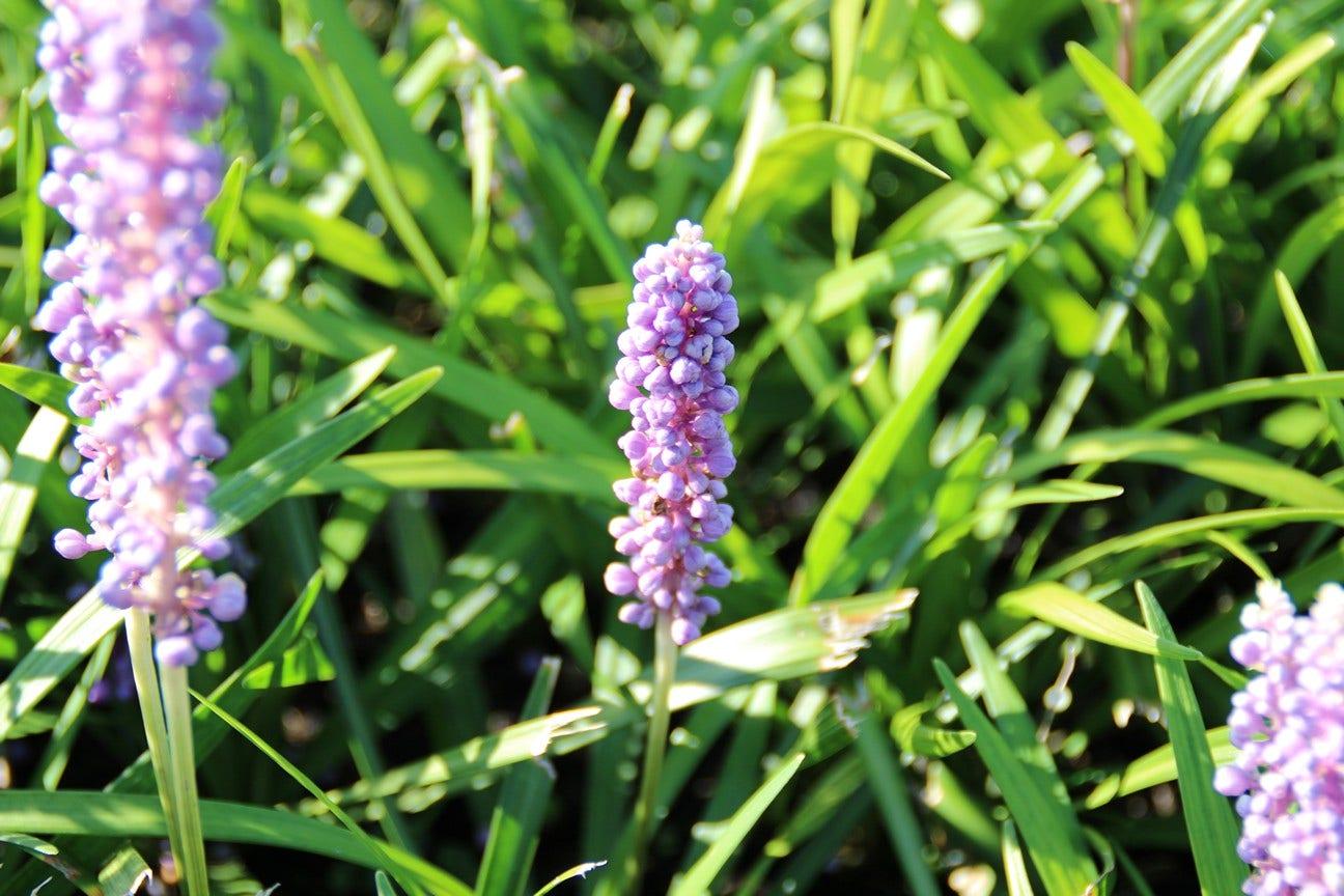 Leliegras (Liriope muscari 'Big Blue')-Plant in pot-C2