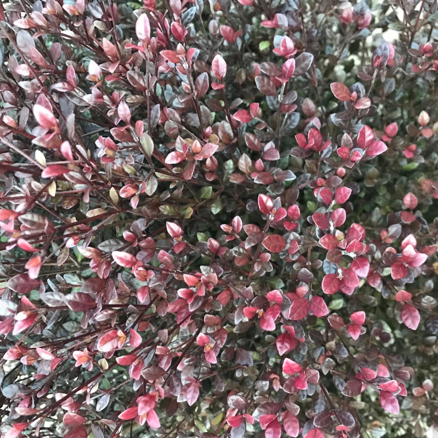Nieuw-Zeelandse mirte (Lophomyrtus ralphii 'Red Dragon')-Plant in pot-80/100 cm. Kleur: wit