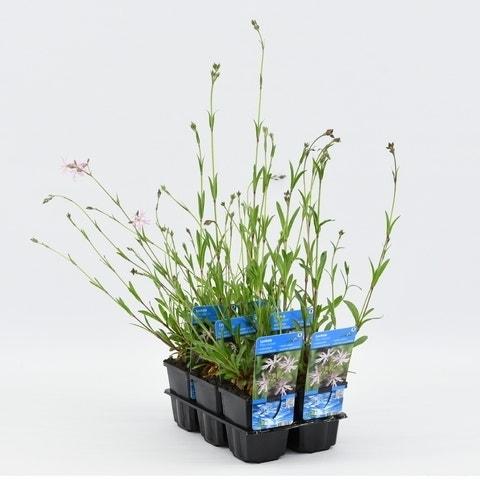 Koekoeksbloem (Lychnis flos-cuculi)-Plant in pot-P9 (9x9 cm pot). Kleur: roze