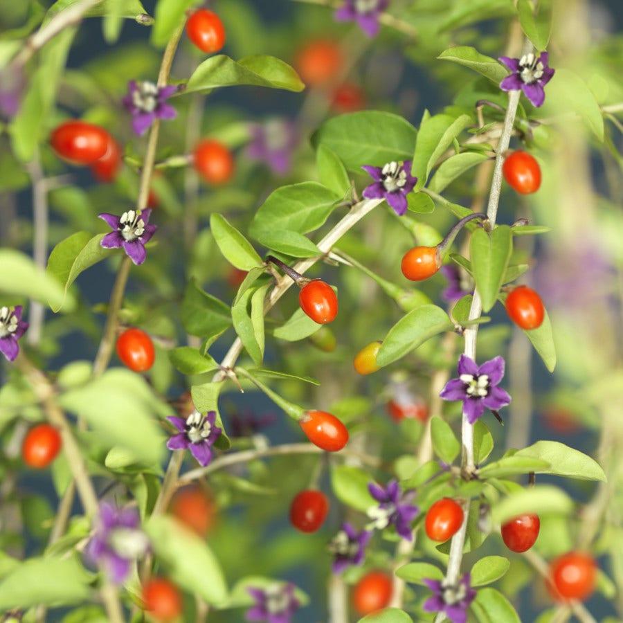 Boksdoorn (Lycium Barbarum)-Plant in pot-50/60 cm. Kleur: paars