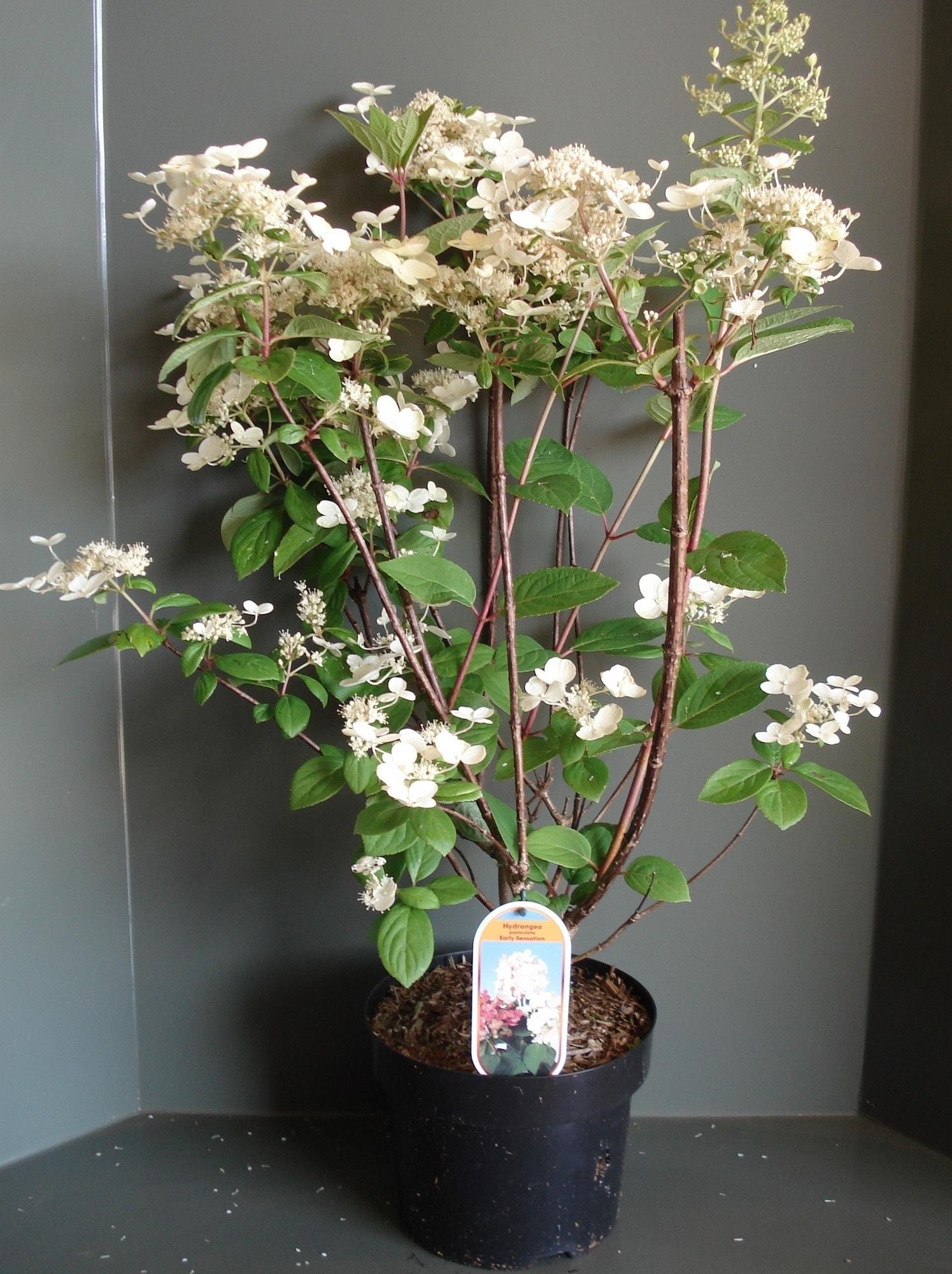Pluimhortensia (Hydrangea paniculata 'Early Sensation') 30/40 cm. Kleur: meerkleurig